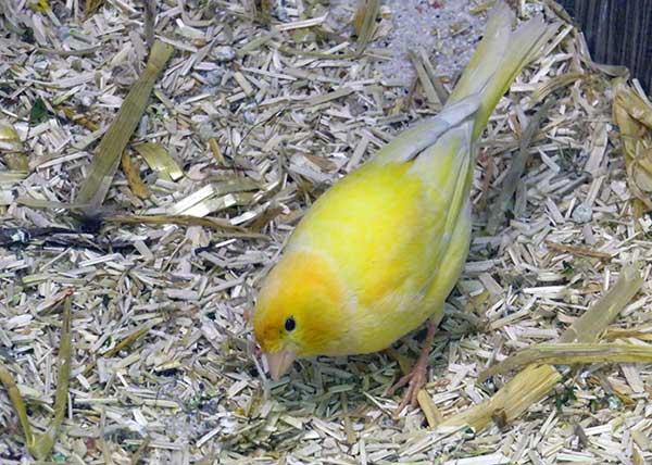 Ein von vielen Vögel von den Kanaren: Kanarienvogel Hansi.