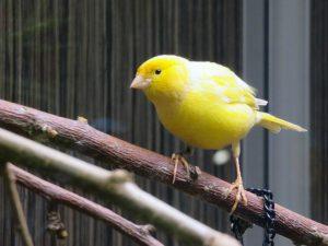 Kein Fink, sondern ein Kanarienvogel