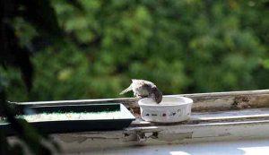Vogel-Pics a la Trinken aus dem Napf.